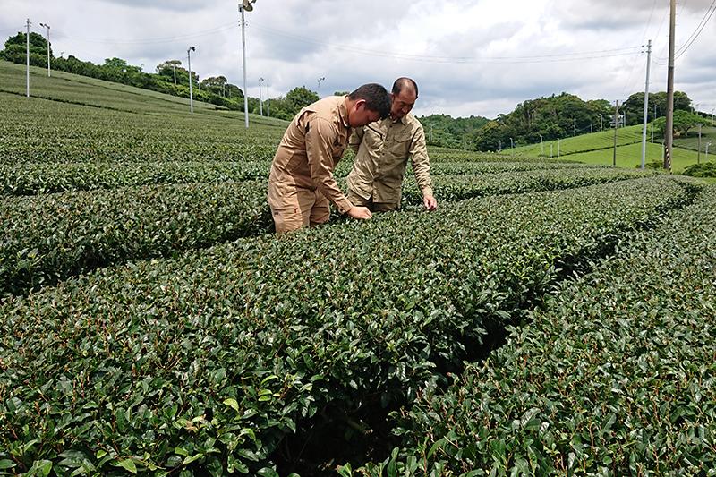 伊藤園、静岡に大規模茶園 耕作放棄地を活用
